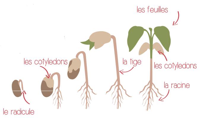 semis,plante, feuille, potager, cultiver
