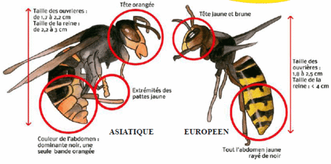 distiguer-frelon-asiatique-europen-differences